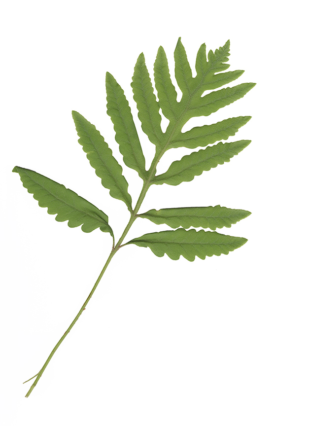 6. Sensitive Fern