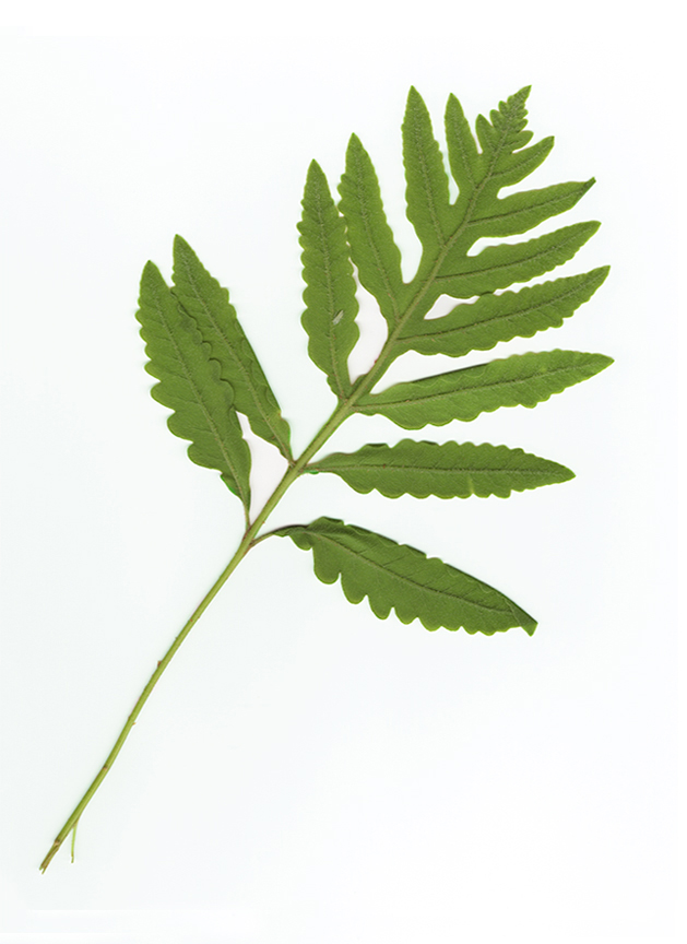 7. Sensitive Fern (verso)